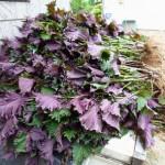 赤紫蘇の種まきと育て方は?ジュースの作り方も