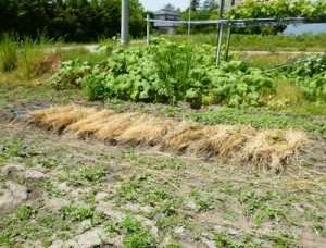 かぼちゃの種まきの方法は?苗の植え方は?栽培のポイントは?