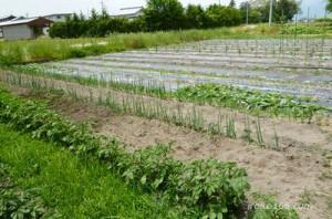 ネギの雑草対策はどうやるの?追肥の方法は?土寄せの時期は?