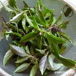 ホーリーバジルの植え付けと摘み方 お茶の効能は何?