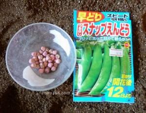 スナップエンドウの栽培で春まきについて 種まきは?植え方は?