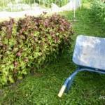 赤紫蘇の収穫はどうする?出荷時期はいつ頃?保存方法は?